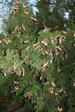 Texas Ebony Blackbead Shrubs Amp Trees Almost Eden