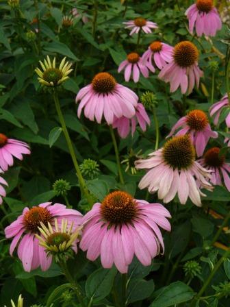 Native Purple Cone Flower
