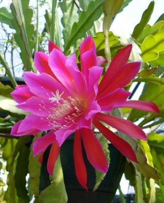 Red Orchid Cactus, epiphyllum