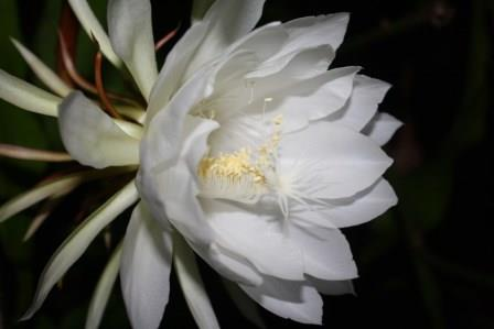 Night Blooming Cereus, Queen of the Night, Orchid Cactus, Epiphyllum