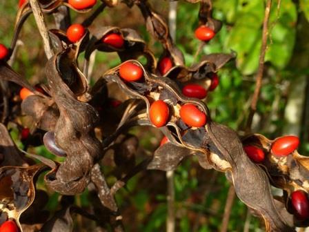 Mamou Bean, Coral Bean, Cherokee Bean, Redcardinal, Cardinal Spear