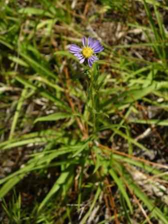 Southern Prairie Aster, Showy Aster