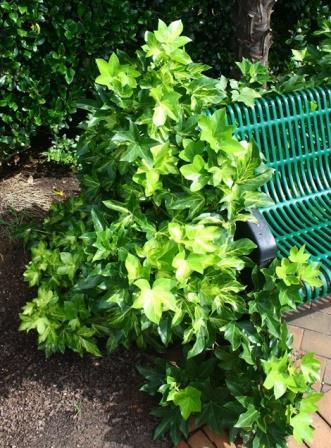 Anna Mikkels Golden Variegated Fatshedera, Tree Ivy, Botanical Wonder