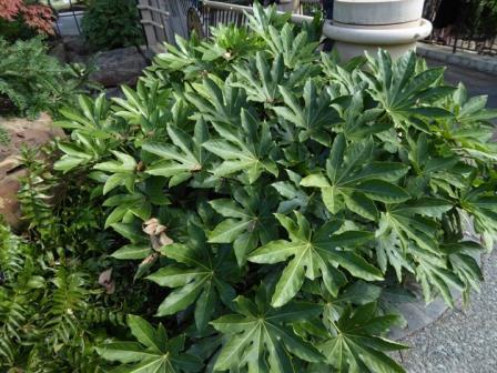 Japanese Fatsia, Japanese Aralia, Glossy-Leaved Paperplant