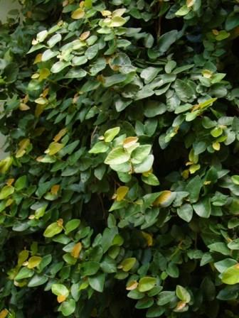 Climbing Fig Vine, Creeping Fig