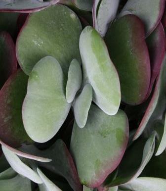 Flapjacks, Paddle Plant, Desert Cabbage, White Lady