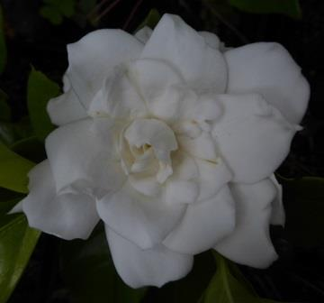 Gold Doubloon™ Gardenia
