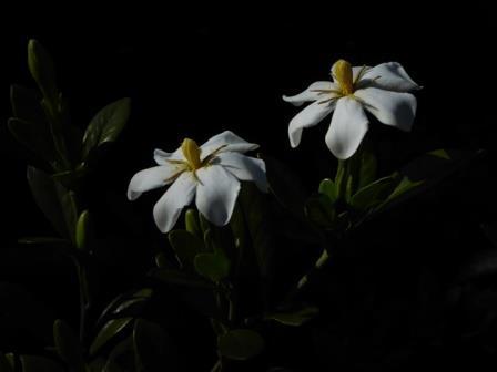 Gardenia Martha Turnbull, Gardenia Rosedown Beauty
