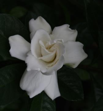 Vietchii Gardenia, Everblooming Gardenia