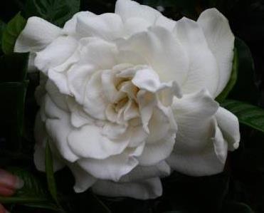 Aimee Yoshioka Gardenia