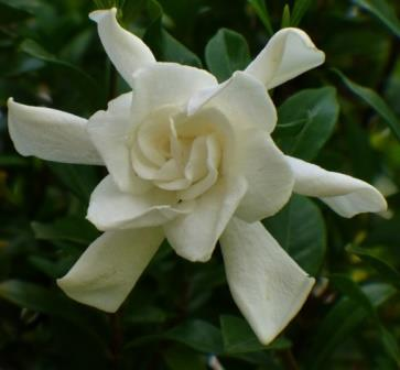 August Beauty Gardenia, Cape Jessamine, Cape Jasmine