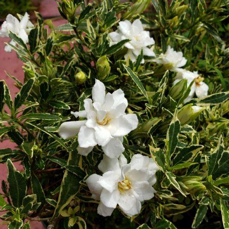 Variegated Dwarf Gardenia