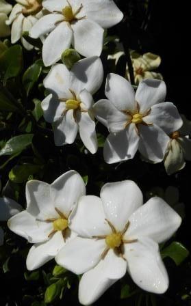 Kleim S Hardy Gardenia Fragrant Plants Almost Eden