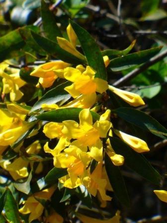 Carolina Yellow Jessamine, Carolina Jasmine, Evening Trumpet Flower, Woodbine