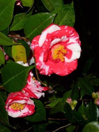 Gigantea Camellia