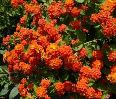 Grandpa's Pumpkin Patch Lantana (shrub, orange)