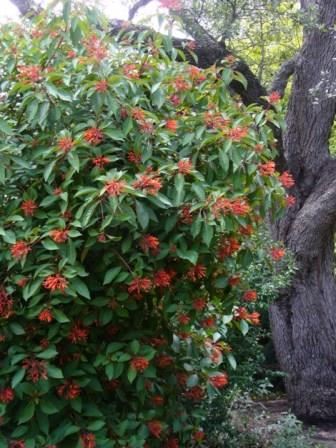 Mexican Fire Bush, Scarlet Bush, Hummingbird Bush