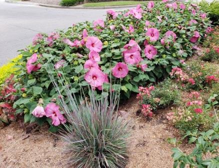 Luna Rose Perennial Hibiscus Hardy Hibiscus Perennials Almost Eden