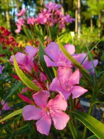 Hardy Pink Oleander