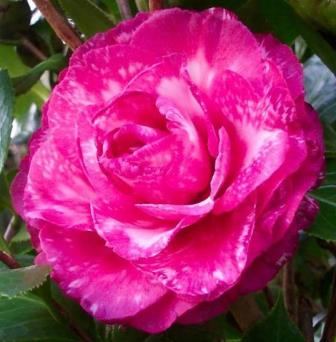 Helen Bower Variegated Camellia
