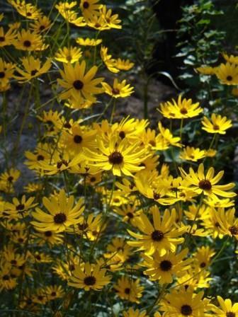 Swamp Sunflower, Narrowleaf Sunflower