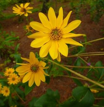 Western Sunflower, Fewleaf Sunflower