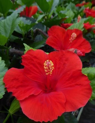 Hibisqs Multi Tropic Red Tropical Hibiscus Chinese Hibiscus