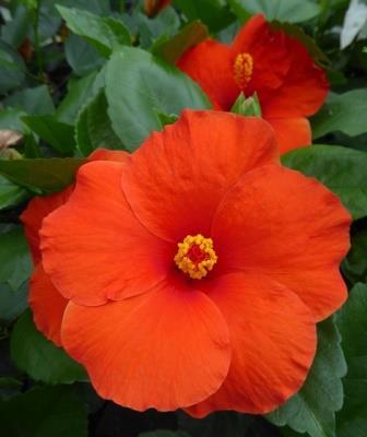 Hibisqs Multi Tropic Orange Tropical Hibiscus Chinese Hibiscus