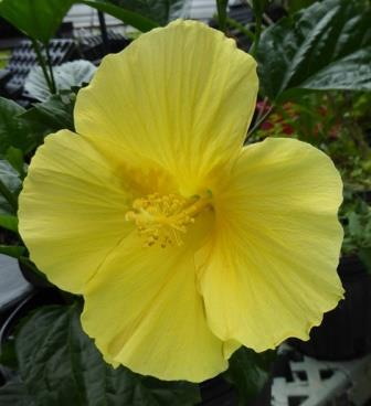 Fort Myers Yellow Tropical Hibiscus Tropical Plants Almost Eden