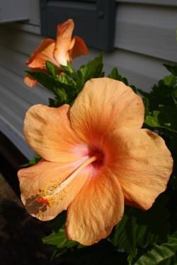 Goldfish Hibiscus