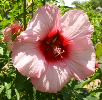 Lady Baltimore Perennial Hibiscus, Hardy Hibiscus