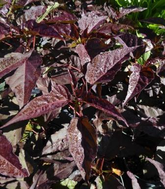 Mimi Perennial Hibiscus, Hardy Hibiscus