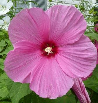 Pink Flare Perennial Hibiscus, Hardy Hibiscus