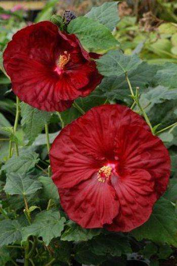 Robert Fleming Perennial Hibiscus Hardy Hibiscus Perennials