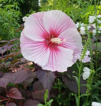 Starry Starry Night Perennial Hibiscus, Hardy Hibiscus