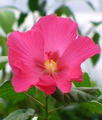 Terri's Pink Rose Mallow, Red Confederate Rose, Everblooming Confederate Rose