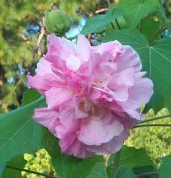 Double Pink Confederate Rose, Cotton Rose Mallow