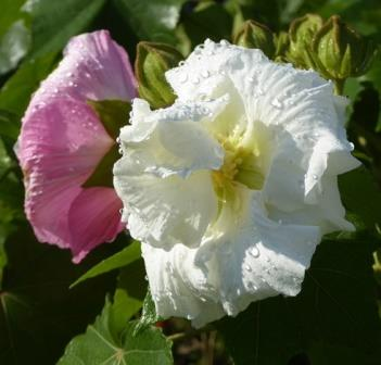 Double White Confederate Rose, Cotton Rose Mallow