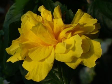 Butterball Triple Yellow Tropical Hibiscus