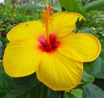Single Yellow Tropical Hibiscus Tropical Plants Almost Eden