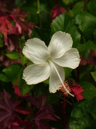 Dainty White, White Swan Hibiscus