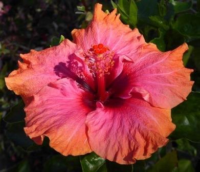 Erin Rachael Tropical Hibiscus Tropical Plants Almost Eden