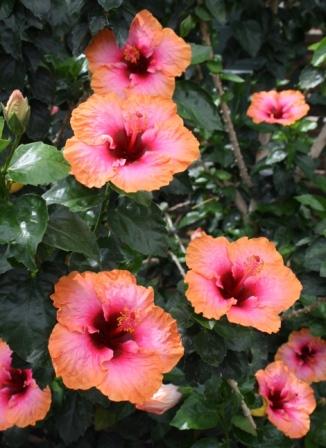 Erin Rachael Tropical Hibiscus