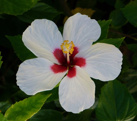 Mount Everest Tropical Hibiscus