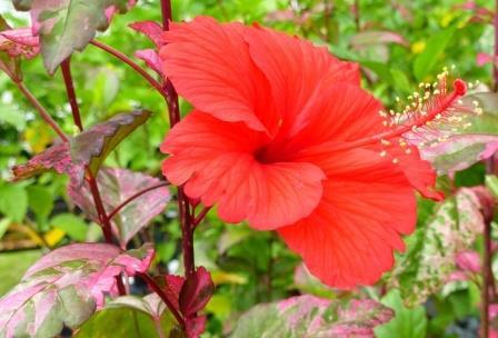 Red Hot Variegated Tropical Hibiscus