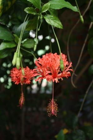 Japanese Lantern, Fringed Rose Mallow, Coral Hibiscus, Hibiscus schizopetalus