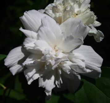 Double White Althea Rose Of Sharon Shrubs Trees Almost Eden
