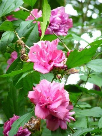 Amplissimus Double Red Althea, Paeoniflorus Rose of Sharon