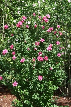 Amplissimus Double Red Althea Paeoniflorus Rose Of Sharon Shrubs