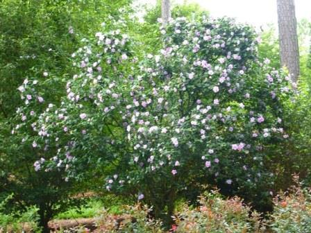 Triple Lavender Althea, Rose of Sharon